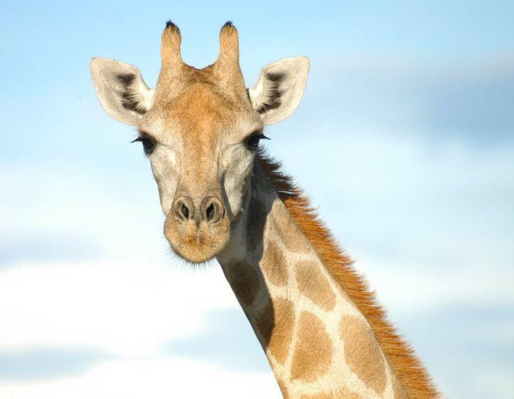 African Giraffe Facts | Anatomy, Diet, Habitat, Behavior ...