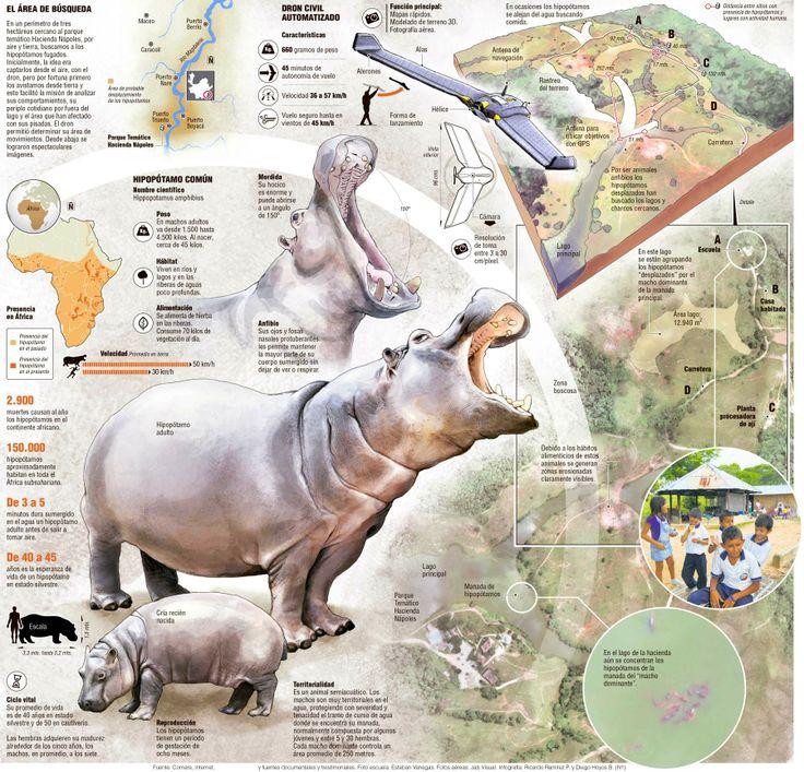 Con tecnología de guerra, tras el rastro de los hipopótamos fugados de Nápoles