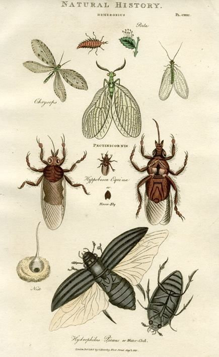 """""""Hemerobius, Pectinicornis, Water-Clock"""" published in A New Cabinet Cyclopedia .., 1819"""