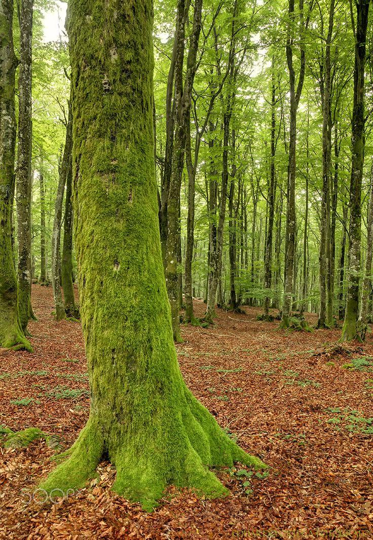 Hayedo Altube - Árbol lleno de musgo en el hayedo de Altube