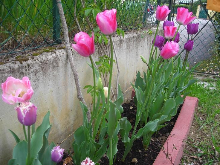 2012 tulips