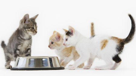 Kattunger trenger kjøtt og bør ikke påtvinges veganmat.
