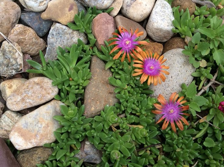 Fire spinner ice plant.