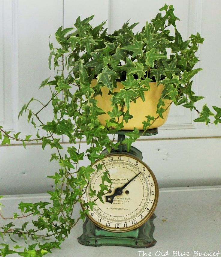 The Old Blue Bucket: Welcome To My Potting Shed ~ Ivy on an old scale