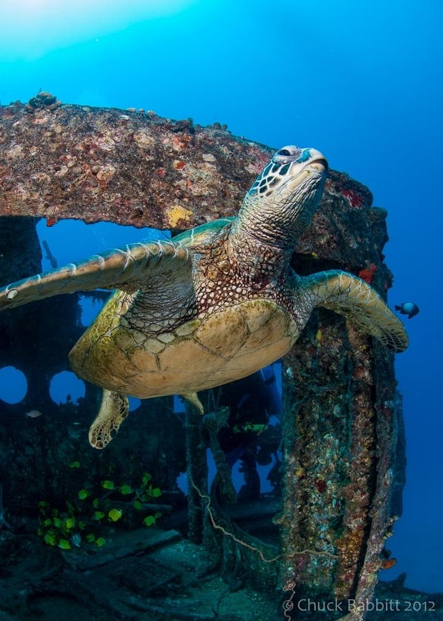 """wowtastic-nature: """"Green Turtle Ascending by  Chuck Babbitt on 500px.com """""""