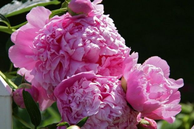 Divide peonies and irises in September and other garden chores (photos)