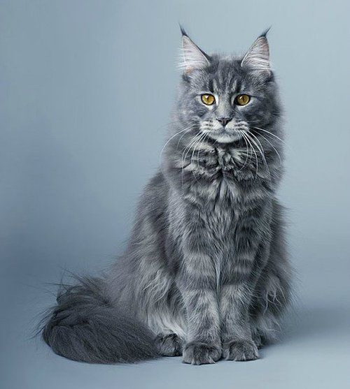 Would love a Maine Coon cat http://www.mainecoonguide.com/what-is-the-average-maine-coon-lifespan/