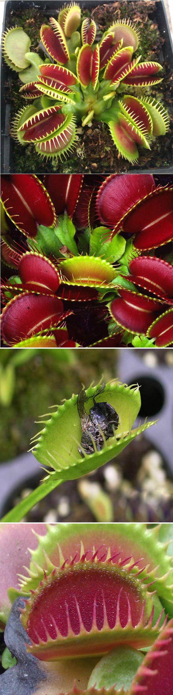 100pcs Catchfly Potted Plant Seeds Garden Venus Flytrap Insectivorous Plant
