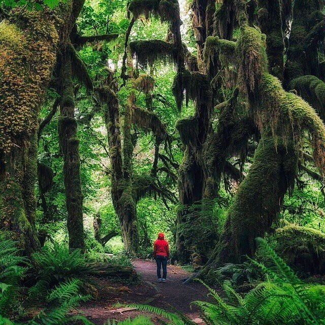 Hiking the Olympic Peninsula in Washington -- The Hall of Mosses trail, at the Hoh Rainforest. PC: @michaelmatti