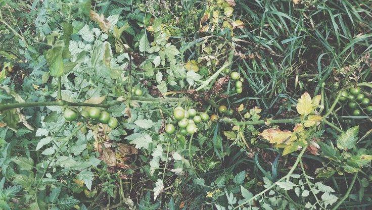Tomatenanbau mal anders. Weder geizen noch hochbinden und liefern dennoch 20kg pro Pflanze.