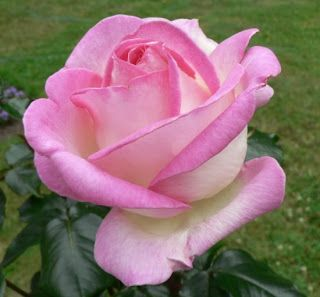 Hybrid Tea Rose: Rosa 'Princesse de Monaco' (France, 1981)