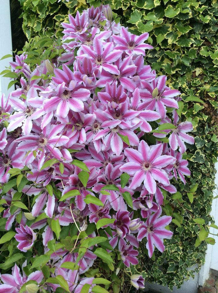 25 best ideas about clematis nelly moser on pinterest climbing flowering vines climbing. Black Bedroom Furniture Sets. Home Design Ideas