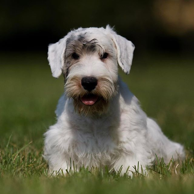The Sealyham Terrier isn't quite big enough to be considered a medium-sized dog, yet he's among the strongest and most substantial of what we think of as a small dog.