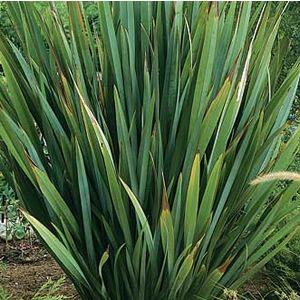 NZ flax - phormium tenax