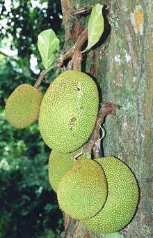 Jackfruit - Wikipedia, the free encyclopedia