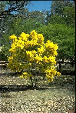 acacia boormanii snowy river wattle
