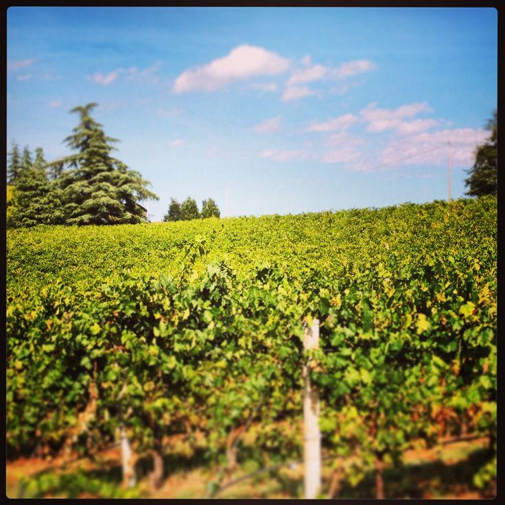 Our #vineyards during harvesting time. #umbertocesari #wine #italy #emiliaromagna