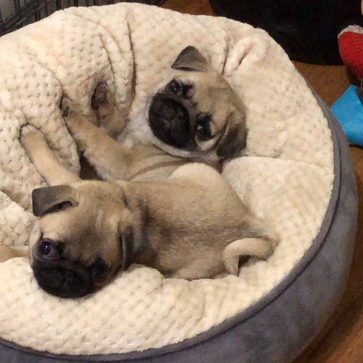 Pugs By Sara Hood In 2020 Pugs Funny Cute Pug Puppies Cute Pugs