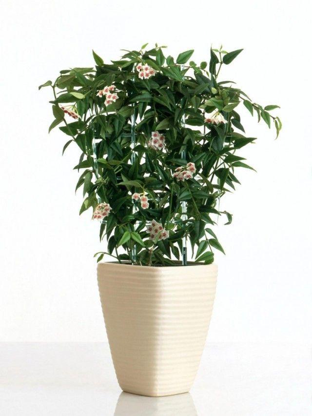 Лучшие неприхотливые растения для офиса 8 Хойя карноза (Hoya carnosa)