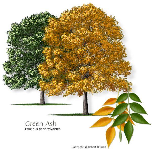 Fresno / Green Ash / Fraxinus Pennsylvanica