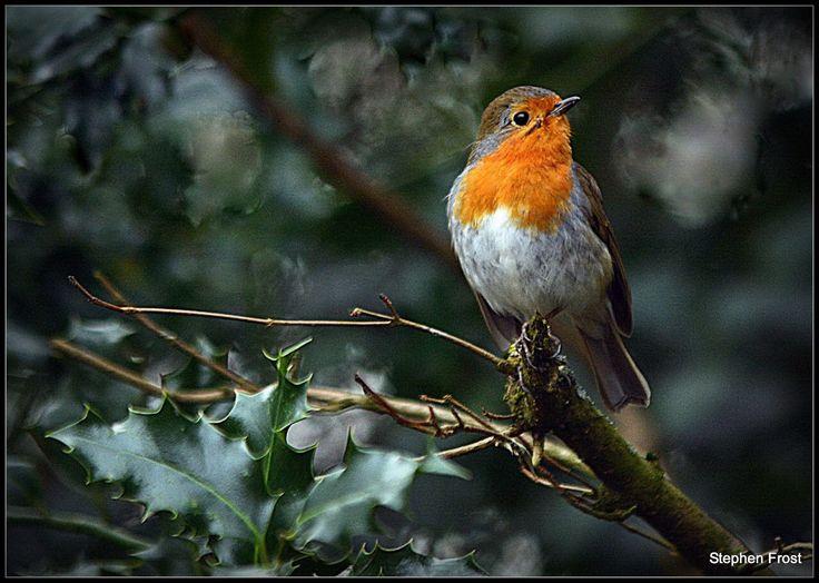 Robin perched on a holly bush -
