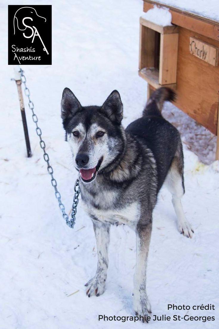 Notre magnifique Husky d'Alaska, Charly ! Il est le seul chien-loup de la meute de Shashis Aventure. Si vous le sentez mordiller votre manche, n'ayez pas peur, c'est seulement qu'il veut un ou deux (ou plusieurs) câlins supplémentaires.
