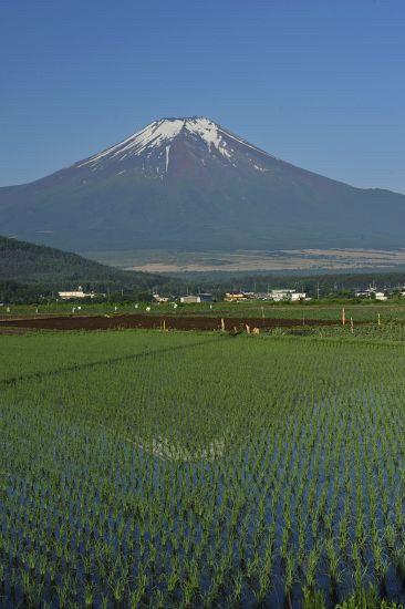 """富士山と田んぼ """"Fuji and rice paddy"""""""
