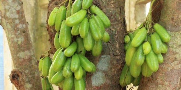 Tanaman belimbing wuluh (Averrhoa bilimbi) memiliki berbagai khasiat obat yang dapat membantu mengobati sakit batuk.  Untuk mengatasi batuk, ambil bunga belimbing wuluh sebanyak 25 kuntum, satu jari rimpang temu giring, satu jari kulit kayu manis, satu jari kencur, dua siung bawang merah, 1/4 genggam pegagan, 1/4 genggam daun saga, 1/4 genggam daun inggu, 1/4 genggam daun sendok, dicuci dan dipotong-potong.  Kemudian