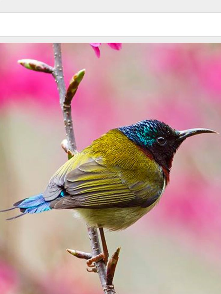 Fork-tailed Sunbird: tropical & subtropical forests of CN/ HK/ LA/ VN   Menxiu Tong/ China Wild Tour, nationalgeographic.com