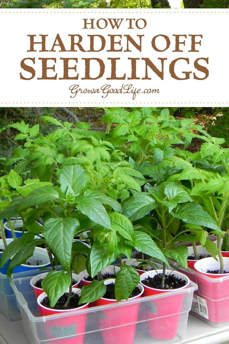 How To Harden Off Seedlings Hardening Off Seedlings Growing