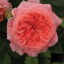 Candy Spelling Floribunda Rose