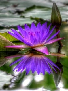 Download free Water Lily Mobile Wallpaper contributed by alvarez, Water Lily Mobile Wallpaper is uploaded in Nature Wallpapers category.