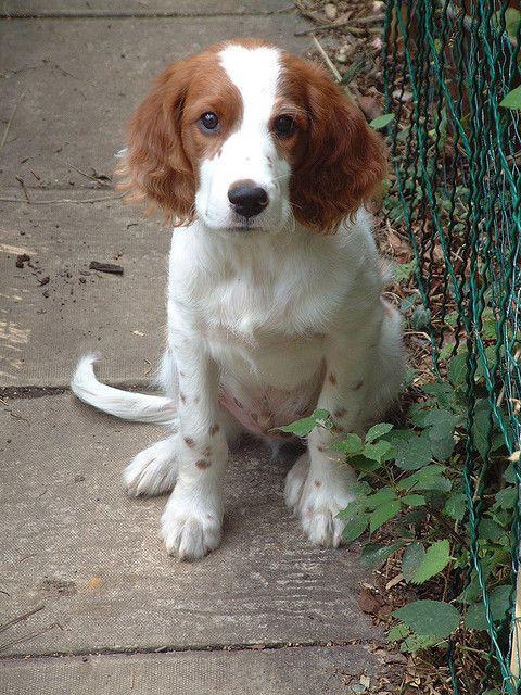 Irish red and white setter | I Love Dogs! | Pinterest