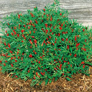 "(perennial, 18"" tall, spring-fall harvest) Thai Hot Pepper - mounds, can be attractive ornamental in front yard."
