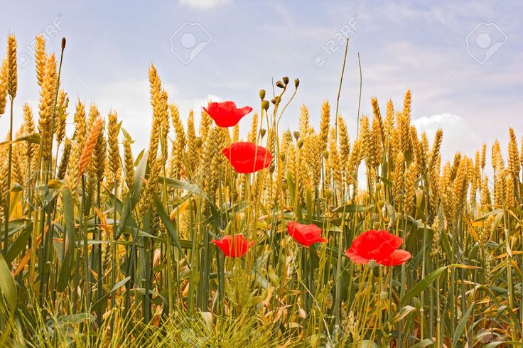 wheat field in june - yellow ear of corn and red poppies under a blue sky Stock Photo