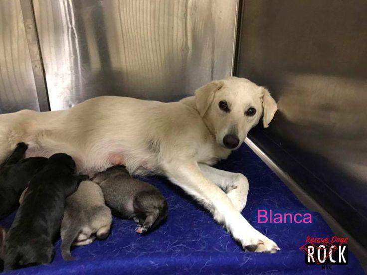 Golden Retriever dog for Adoption in New York, NY. ADN-501793 on PuppyFinder.com Gender: Female. Age: Adult