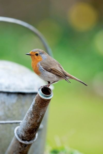 Robin red breast: I encountered my first English robin in the Kensington Palace gardens. It was raining but he was atop a fence and gaily singing to me. I chirp and he would chirp back. Enchanting wee things - so much smaller than American robins, which I also adore.
