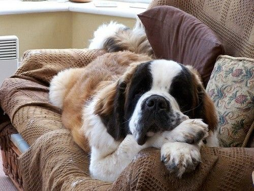 A St. Bernard chillin out!  When ours lays fulllength on the floor, he's as long as the couch.  But on the couch he curls up - has to share with the greyhound.