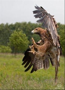 Продаются хищные птицы: Сокола, ястреба, Орлы..., Московская область,  6 000 руб.