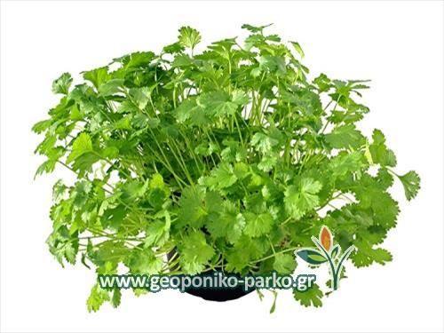Αρωματικά φυτά - Φαρμακευτικά - Βότανα : Κολίανδρος - Κόλιαντρος   Coriander sp.1 euro