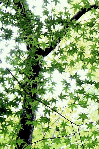 .: Sweetgum Trees, Kowhai Trees, Green Trees, Beautiful Trees, Trees Stars, Art Prints, Spring Leaves, Sweet Gum Trees, Yellow Flower