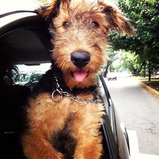 cute Airedale puppy~