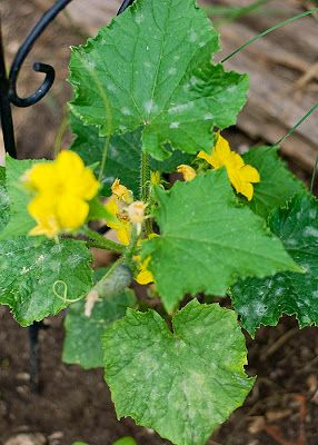 The Hippy Homemaker: Milk, A Garden Miracle Against Powdery Mildew