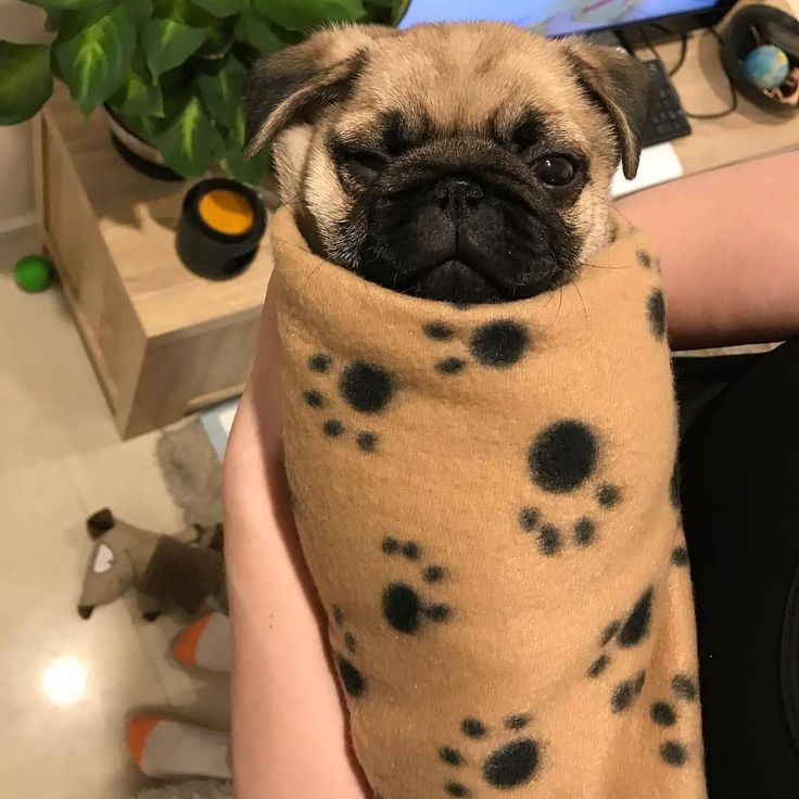 📷 from @porkypugpeanut 😘😘😘😘😘 🐶🐶 👉 #pugofhome bio Follow us on facebook (Bio link) . . . #pugvideos #funnyvideo #pugsofinstagram #teampug #dog #ilovemypug #funnyvideos #mops #carlin #mywestelm #smilingpugs #9gags #puppy #chiuahua #kisses #pugproblems #puglife #😂 #obra #sharpei #arquitetura #blackandwhite #cutiedoing #petlovers #greatpyrenees #iloveyou