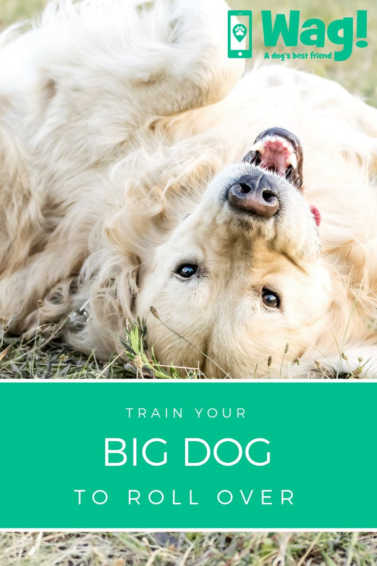 How to train your big dog to roll over with images big