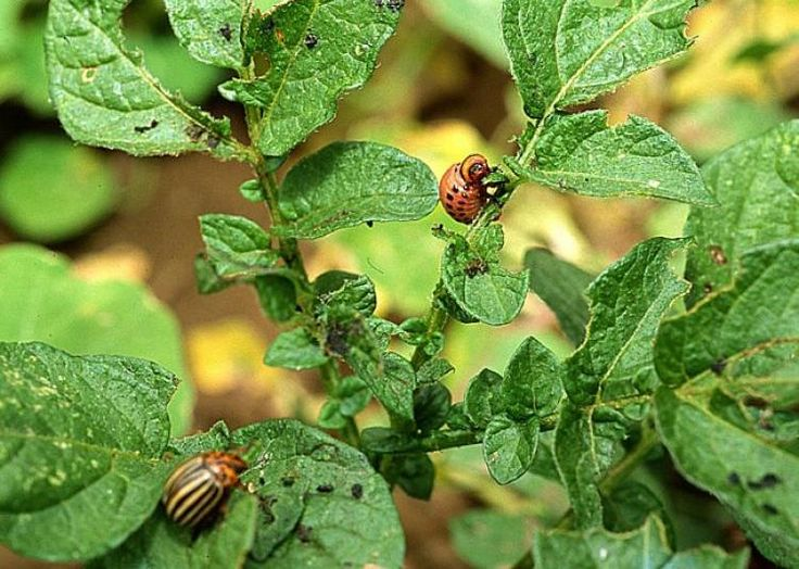 Pucerons, doryphores, mouches, chenilles, vers : lutter naturellement pour protéger vos légumes et votre santé - F. Marre - Rustica - Le Bois Pinard - Marie Marcat