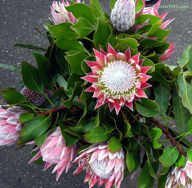protea | protea flower delivery usa , Protea Flowers