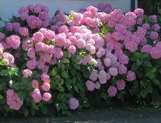 Выращивание гортензии - Садоводка