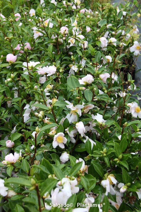 Camellia sasanqua Papaver http://www.plantamus.es/camelia-camellia/camelia-sasanqua-olorosa