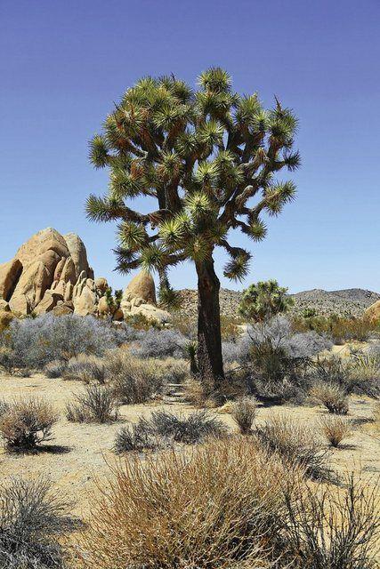 Wandfolie »fotoping: Joshua Baum in der Mojave Wüste«